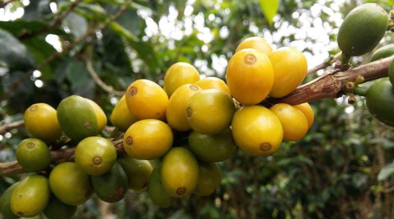 desaparecerá el café Catuaí Amarillo-Ruta del Café Mcbo